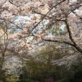 写真: 残照桜02