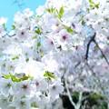 写真: 大島桜05