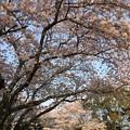 写真: 残照桜10