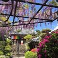 写真: 藤まつり:子安地蔵寺