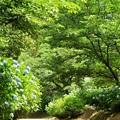 緑陰:アジサイ17