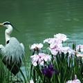 写真: 花鳥:花菖蒲25