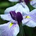 花言葉「優しい心」:花菖蒲14