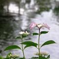 池泉に咲く:アジサイ07