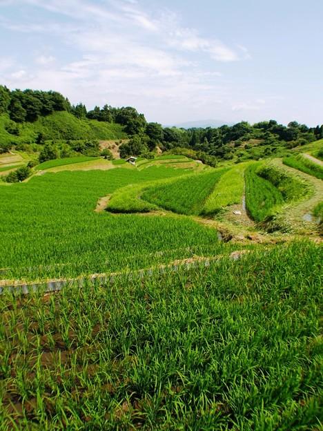 写真: 緑の広がり:棚田01