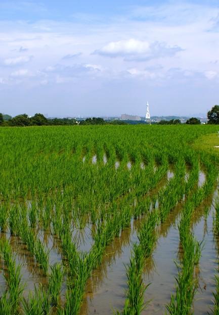 稲の曲線美:棚田08