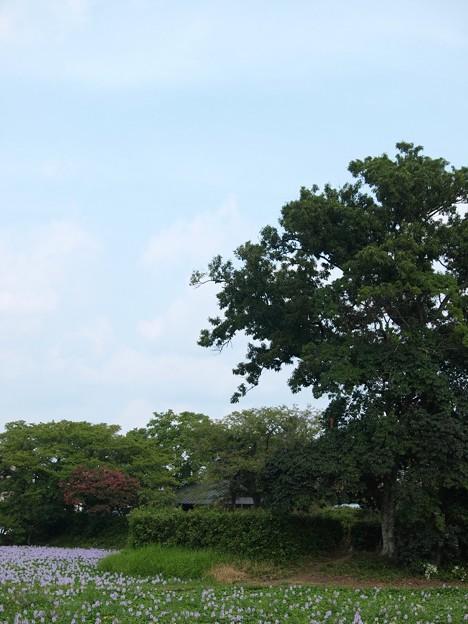 本薬師寺跡:ホテイアオイ11