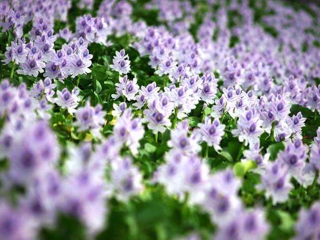 一斉に咲く:ホテイアオイ01
