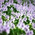 写真: 一斉に咲く:ホテイアオイ01