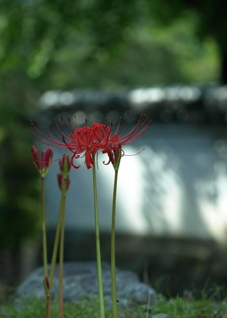 ひそやかに咲く:曼珠沙華38