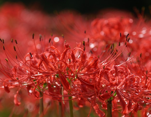 赤の煌めき:曼珠沙華28