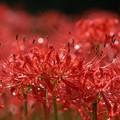 写真: 赤の煌めき:曼珠沙華28
