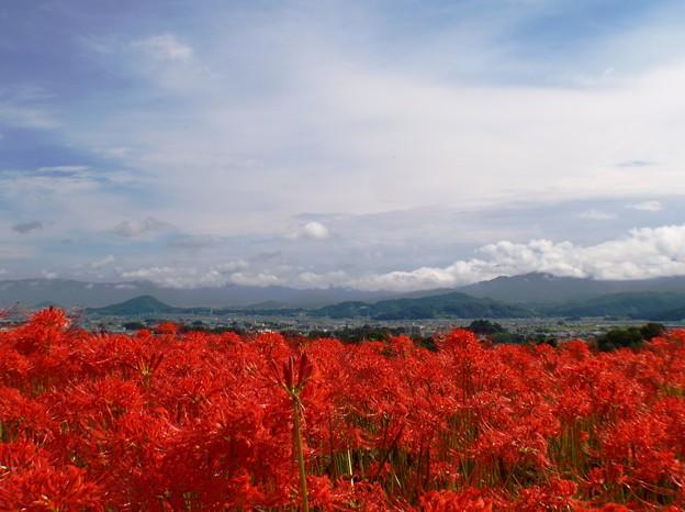 大和三山を望む:曼珠沙華10