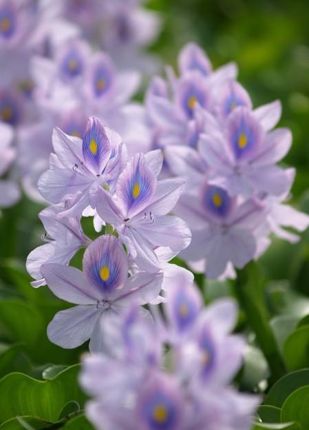 写真: 薄紫色:ホテイアオイ