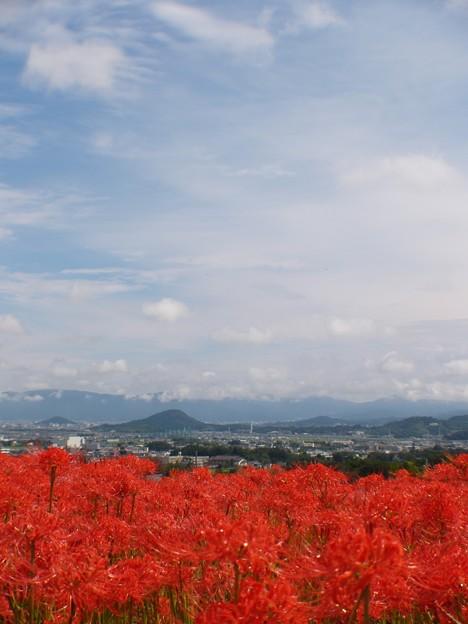 秋雨のあと:曼珠沙華06