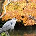 鷺と紅葉:晩秋好古園88