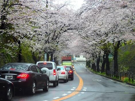 桜トンネル~逗子市葉桜