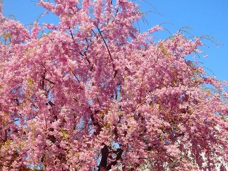 満開枝垂れ桜~富士電機様