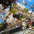 桜~金沢城