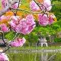 八重桜~鎌倉源氏池
