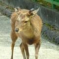 写真: 興福寺~鹿