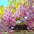 ピンクの藤~名古屋城