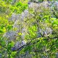 写真: 野生の藤~逗子蘆花公園