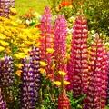 写真: カラフルな花壇~お台場
