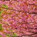 Photos: 八重桜~旧北海道庁本庁舎