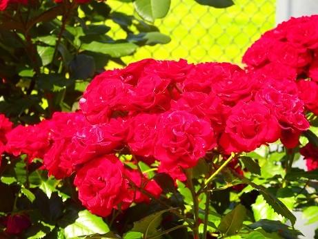 赤い薔薇~横浜岡野公園