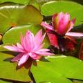 写真: 徳川庭園~睡蓮