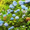 写真: 紫陽花~逗子 蘆花公園