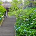 写真: 紫陽花~東慶寺