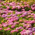 紫陽花~梅北ガーデン