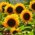向日葵~梅北ガーデン
