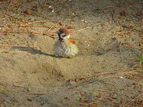 砂浜のスズメ~横浜市 海の公園