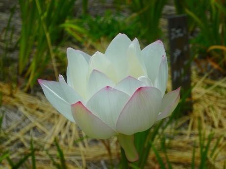 Photos: 蓮の花~徳川庭園