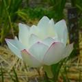 写真: 蓮の花~徳川庭園