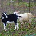 写真: 子羊~大濠公園
