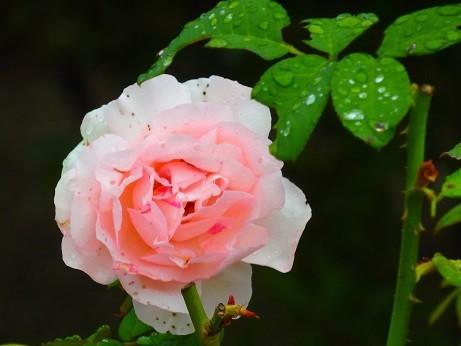 新横浜~薔薇