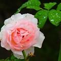 写真: 新横浜~薔薇
