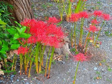 龍華寺の彼岸花