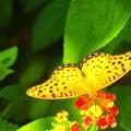 ランタナと蝶~天王洲運河