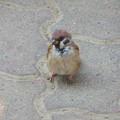 写真: 岡野公園~スズメ