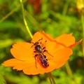 写真: 岡野公園~花に蜂