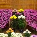 写真: 菊展~福山城