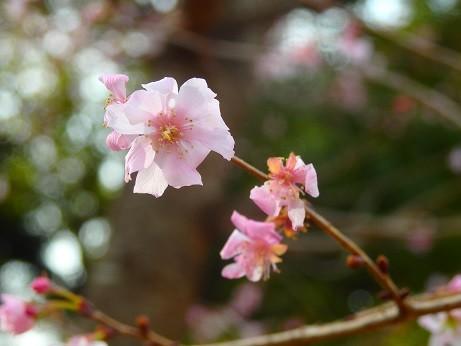 写真: 小福桜~上野公園
