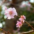 小福桜~上野公園