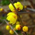 ロウバイ~西明石 花と緑の学習館