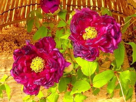 写真: 牡丹~名古屋徳川庭園